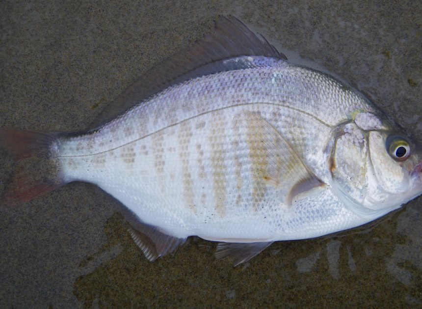 Female retail on dark sand, in the swash, fins erect