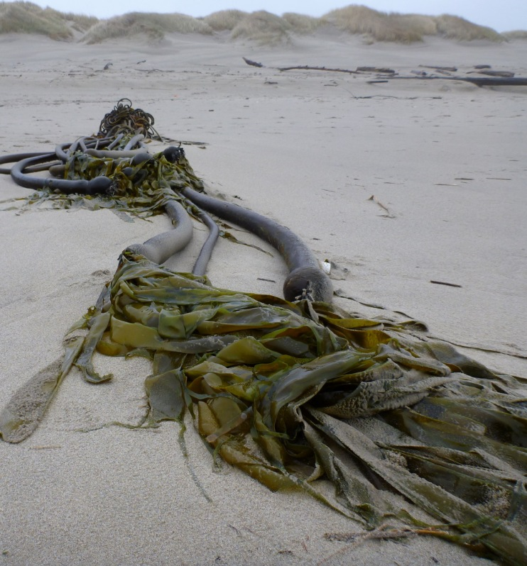 Beach hoppers and the other scavengers rejoice when a bull kelp drift mass washes ashore