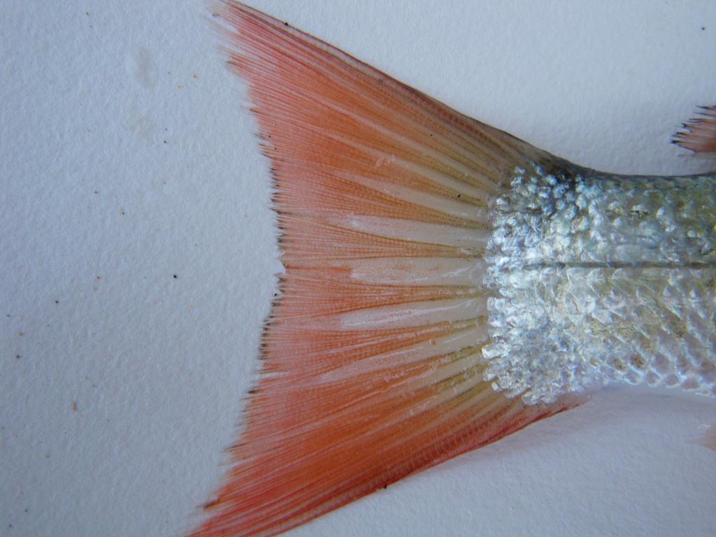 Caudal fin of a dead retail