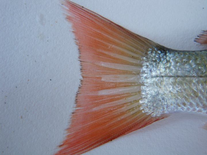 Caudal fin of a dead retail