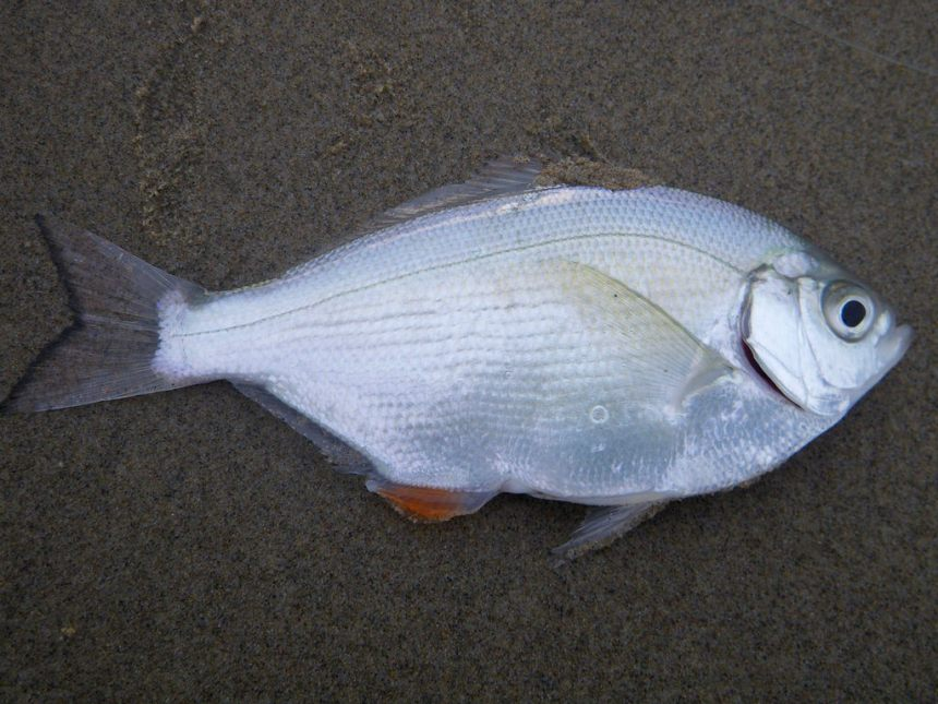 A freshly caught silver on the sand