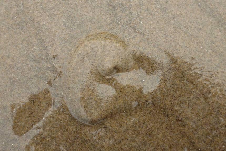 Burrowed beneath wet sand