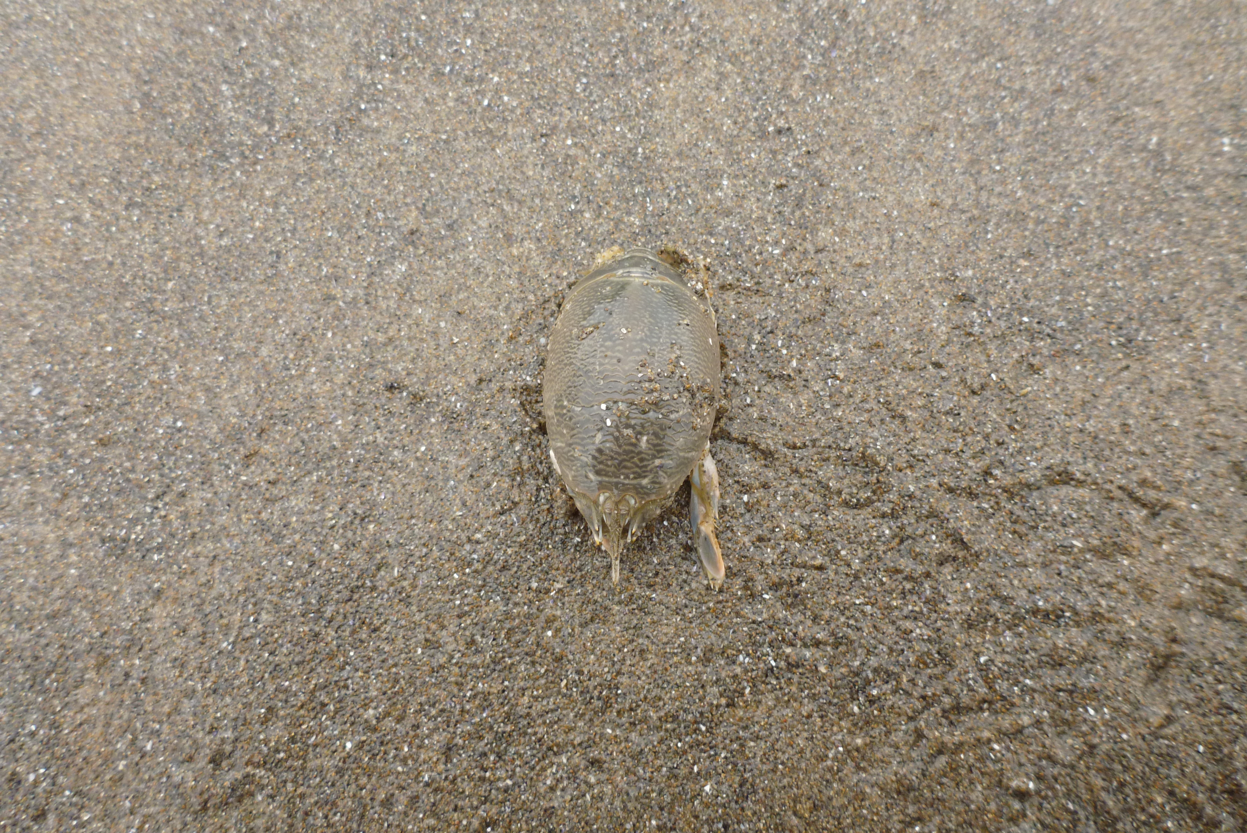 pacific mole crab - photo #26