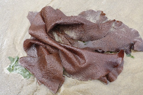 Turkish towel, Chondracanthus exasperatus, in the drift line