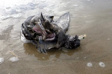 Carcass in the swash