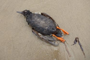 Fresh carcass on wet sand