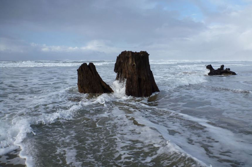 Old growth stump getting wet in the high tide