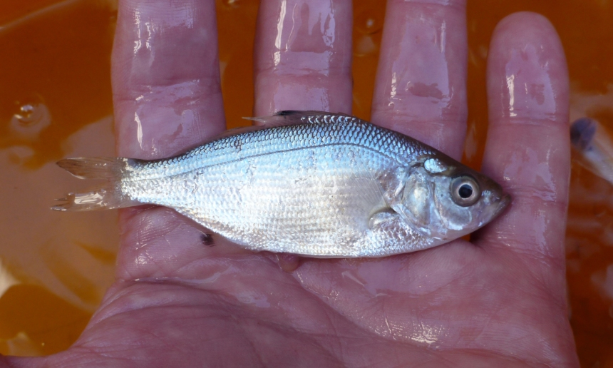 Spotfin surfperch, Hyperprosopon anale