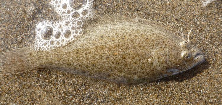 Sand Sole, Psettichthys melanostictus