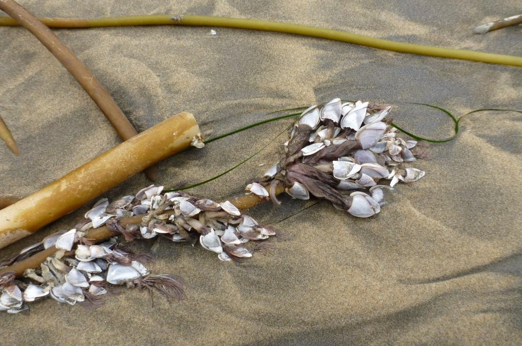 On a drifted bull kelp stipe; on wet sand.