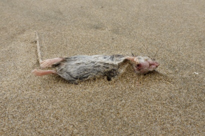 Deer mouse, Peromyscus