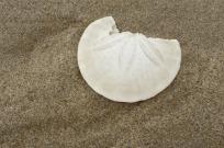 Eccentric sand dollar, Dendraster excentricus