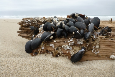 Pacific blue mussels, Mytilus trossulus on a broken-off piling