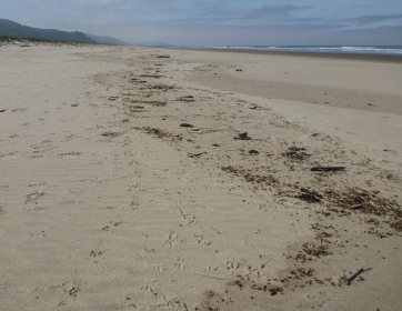 Wrack line, mostly winged ants