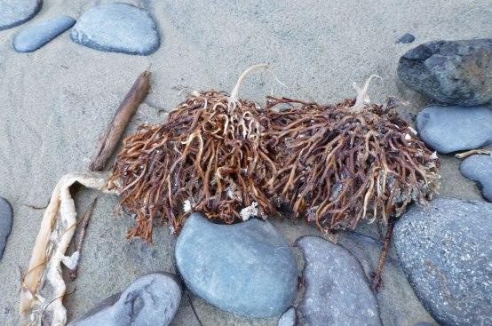 Bull kelp holdfasts