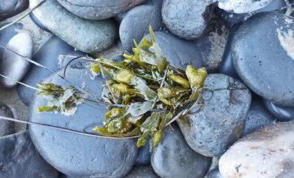 Rockweed, Fucus