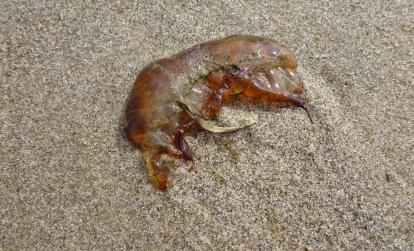 Sea nettle, Chrysaora