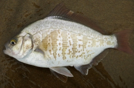 Adult male redtail surfperch, Amphistichus rhodoterus