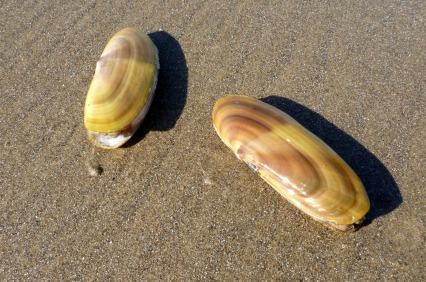 Pacific razor clam, Siliqua patula
