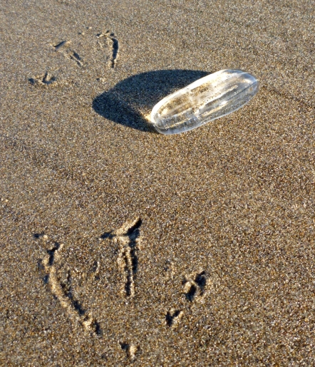 Unidentified comb jelly and gull tracks