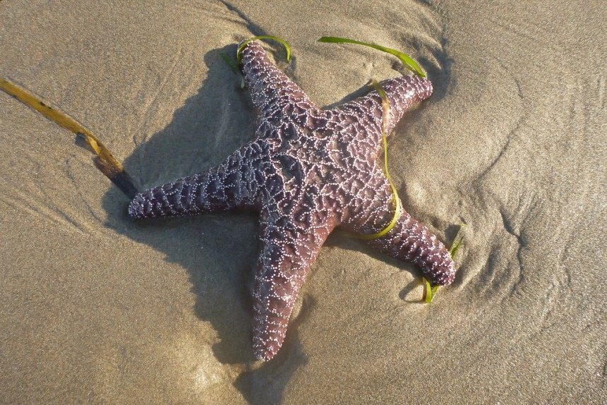 Sea star on the sand, a little eel grass debris