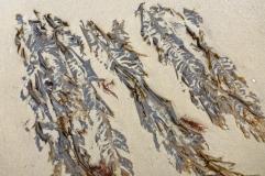 Winged kelp, Alaria marginata, partially burried