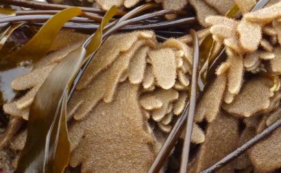 Spiny leather bryozoan, Flustrellidra corniculata
