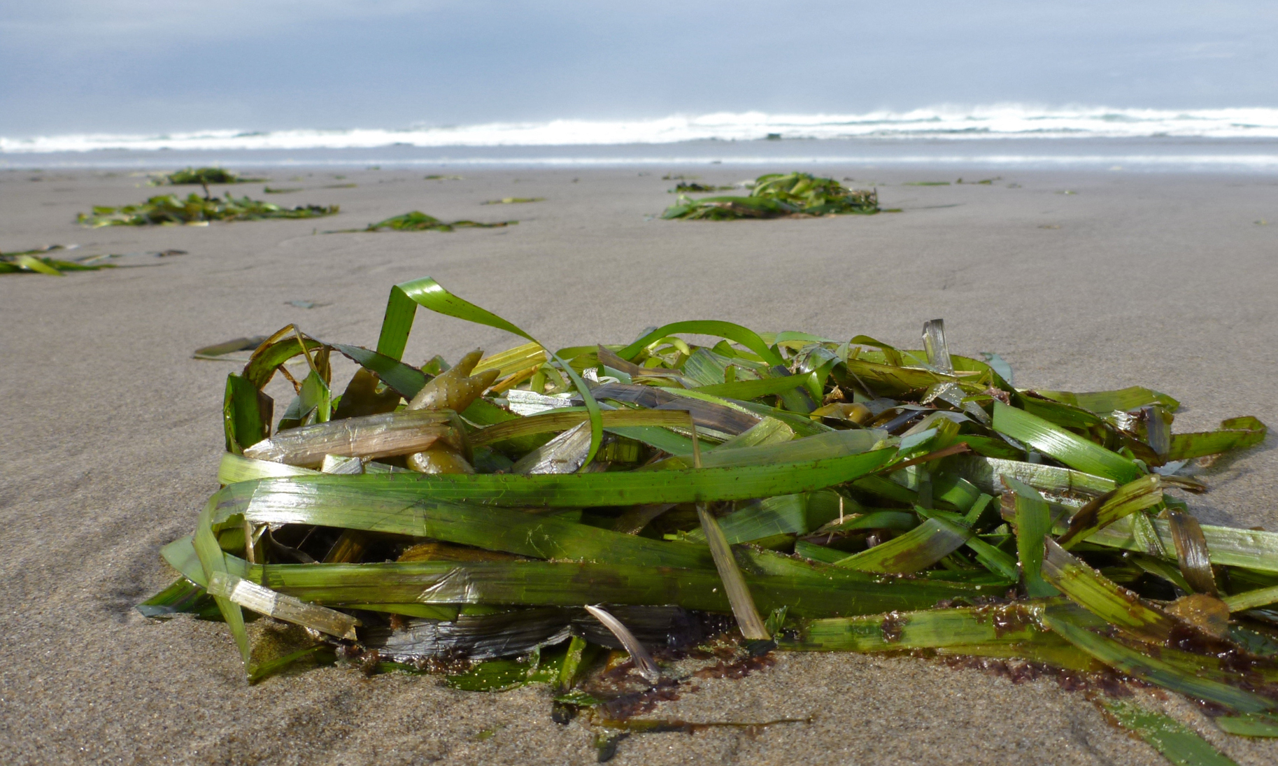 A drift eelgrass clump in the foreground; more clumps and eventually, the surf zone in the background