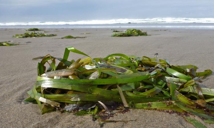Eelgrass, Zostera marina