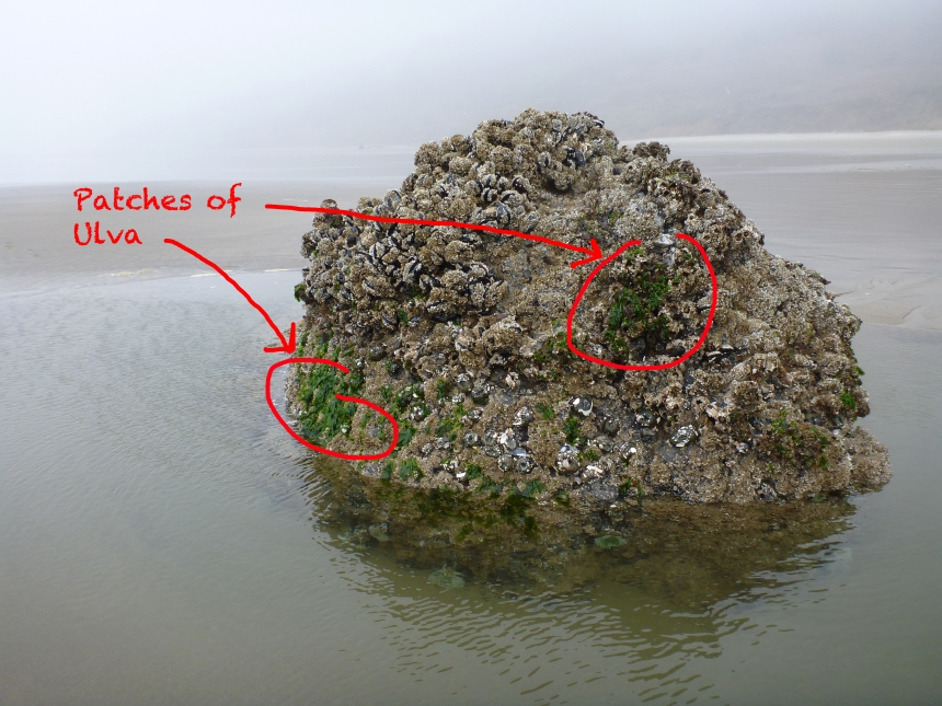 Ulva patches on the protected southeast side of a surf-swept rock