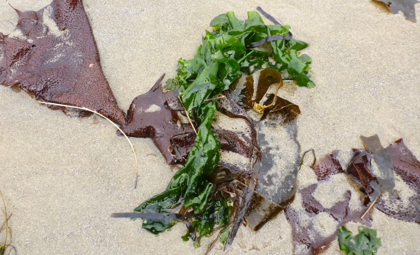 Sea lettuce, Ulva (green) and Turkish towel, Chondracanthus exasperatus