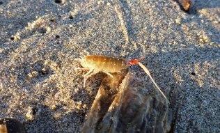 California beach hopper, Megalorchestia californiana