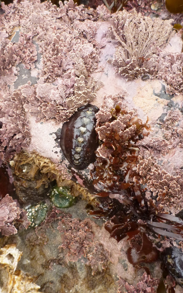 Black leather chiton, Katherina tunicata