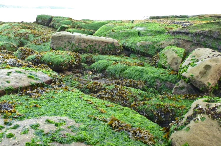 Lush growth of Ulva (bright green) exposed at low tide