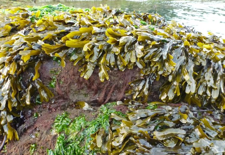 Rockweed, Fucus gardneri, and sea lettuce, Ulva