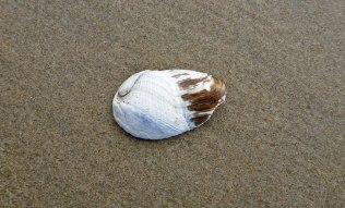 Flat-tip piddock, Penitella penita