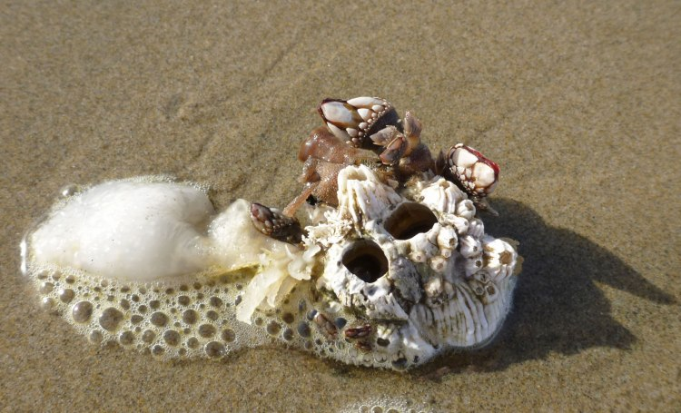 Thatched barnacles, Semibalanus cariosus, and goose barnacles, Lepas anatifera.