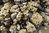 Acorn barnacles, Balanus glandula, on California mussels, Mytilus californianus