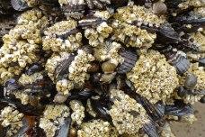 Acorn barnacles, Balanus glandula, on California mussels, Mytilus californianus