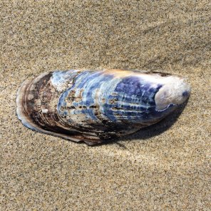 California mussel