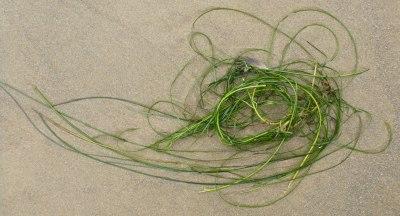 Surfgrass, Phyllospadix, in the drift line