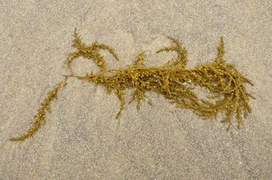 Sargassum, Sargassum muticum