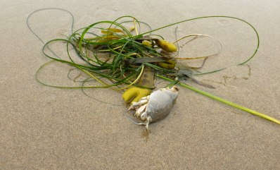 Surfgrass, rockweed, Pacific mole crab