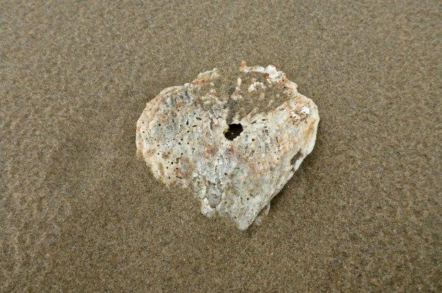 Rock scallop