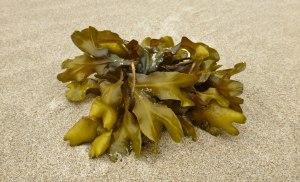 Drift clump of rockweed