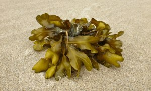Drift clump of rockweed