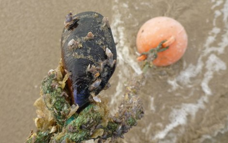 Mussel, pelagic barnacles, and a Uroko buoy