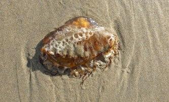 Sea nettle, Chrysaora fuscescens