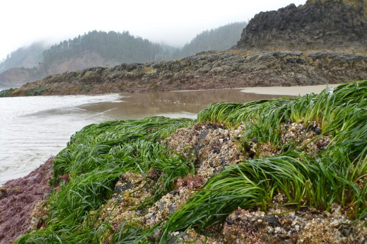 Surfgrass, Phyllospadix, on rocks and rocky headlands jutting out of the sand