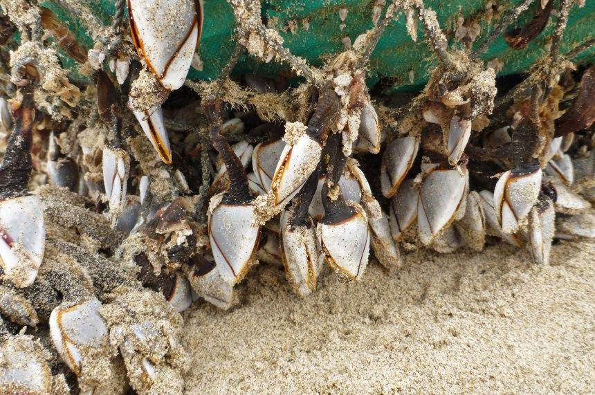 Pelagic goose barnacles on a homemade float.